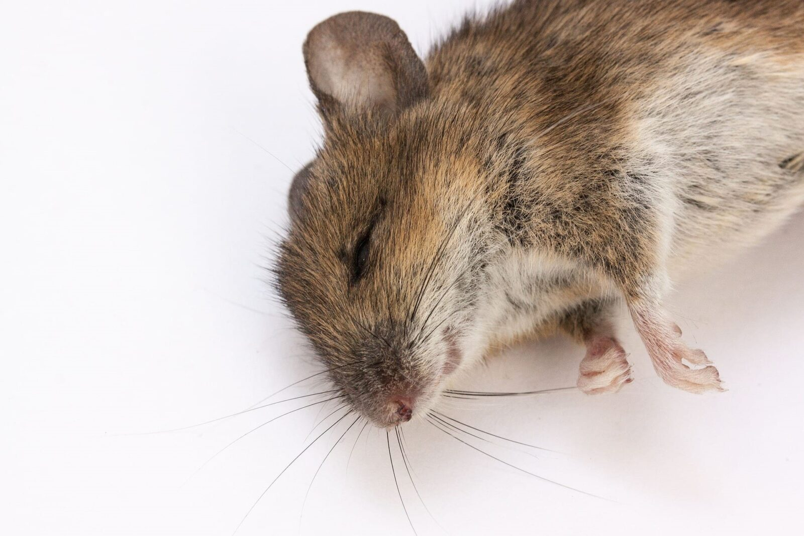 Image Result For Rattus Rattus Wild Rat